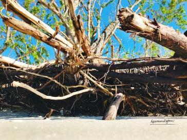 mangroveatlowtide